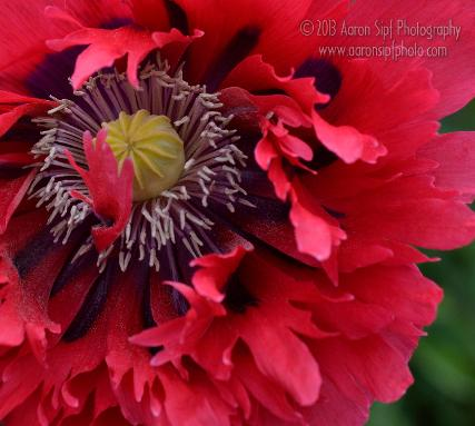 Papaver somniferum Seriously Scarlet